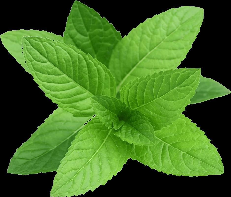برگ گیاه نعناع مورد استفاده در عرق نعناع