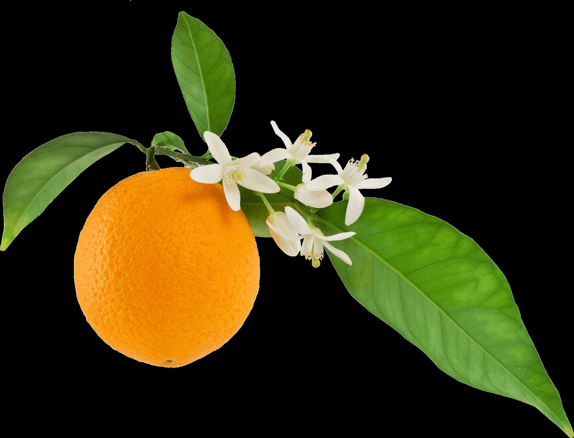 گیاه بهارنارنج به همراه نارنج